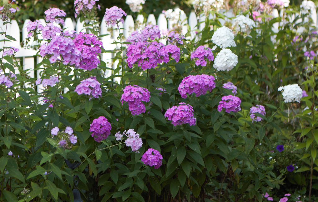 Lavender and white phlox abound